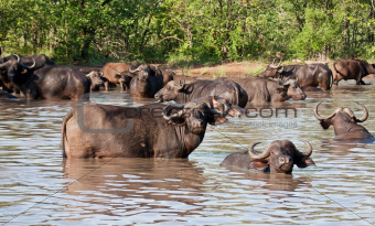 Buffalo herd resting in waterhole