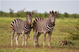 Herd of zebra on a grass plain standing