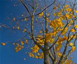 maple tree with yellow foliage