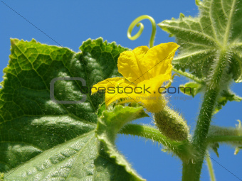 cucumber plant fragment