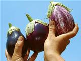 eggplants in hands