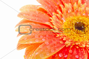 Orange flower with drops of water