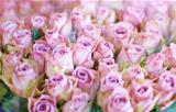 Pink roses for love