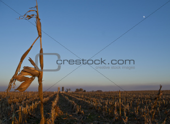 Solitary corn stalk at sunset