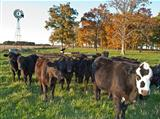 Yearling beef cows in pasture with windmill
