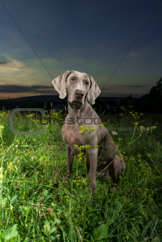 Weimaraner dog outdoors