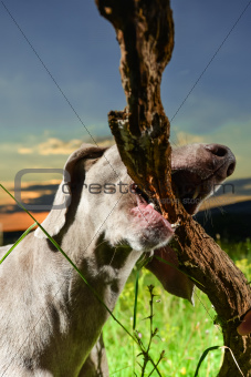 Wemaraner dog carrying a branch