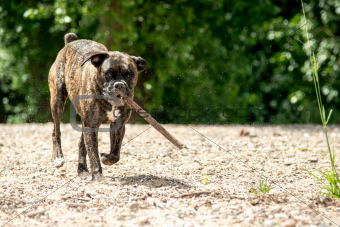 Boxer dog with stick
