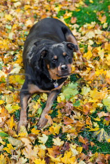 Rottweiler and autumn