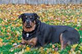 Female Rottweiler