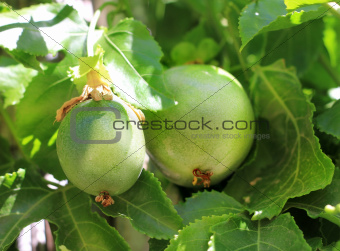 green fruit of Passiflora
