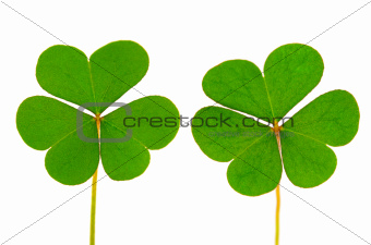 Three Leaf Clover