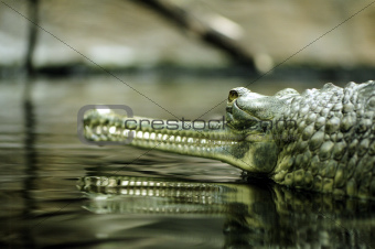 An Indian gharial