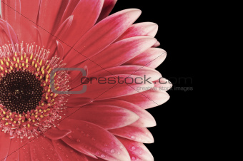 gerbera daisy flower isolated on black
