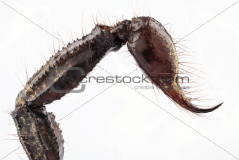 sting of black scorpion species palamnaeus fulvipes