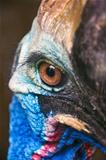 Cassowary eye