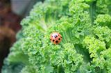 ladybug in eating