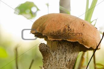 red cap scaber stalk leccinum aurantiacum mushroom
