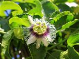 passion flower blooming