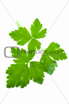 flat leaf parsley close up isolated