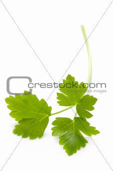 flat leaf parsley isolated