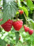 the red  berries of raspberry
