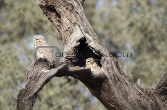 Spotted  Owlet Or Little Owl