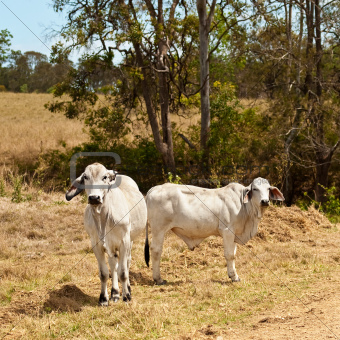 Two grey brahman cows on cattle ranch