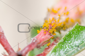 Aphids on the flower