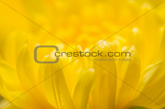 Chrysanthemum Flowers macro