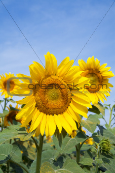 Ripe bright sunflower growing on a farmer field in the late summer