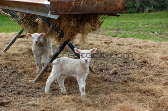 Two lambs standing in hay