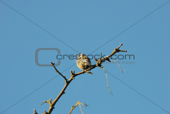 Fledgling blue tit on a branch