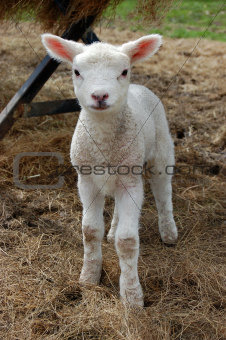 Sweet young lamb standing in hay