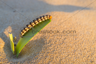 Caterpillar munching on leaf