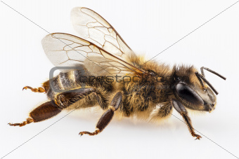 Bee species apis mellifera common name Western honey bee or European honey bee