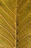 Leaf structure underside
