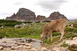 Dolomites Italy beauty, cow drinking at the stream on the Tre ci