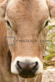 Dolomites Italy beauty, cow in Tre cime di Lavaredo - Closeup