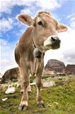 Dolomites Italy beauty, cow in Tre cime di Lavaredo