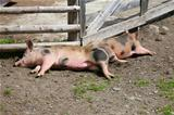 piglets sleeping