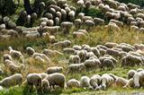 sheeps at pasture