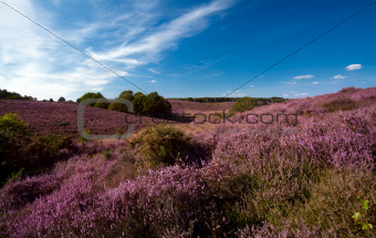 flowering heather on hills