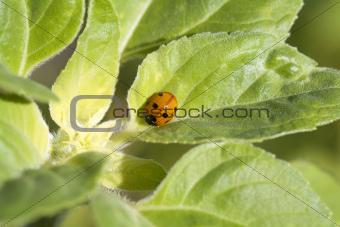 little cute ladybug