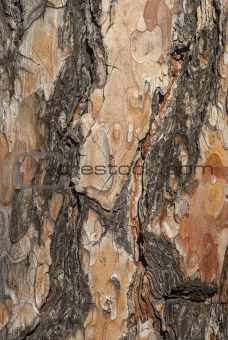 Spruce tree bark closeup