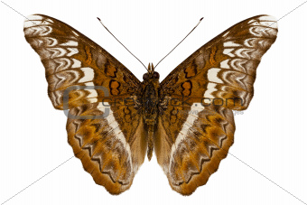 Admiral limenites butterfly