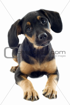 puppy doberman