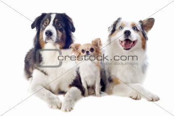 australian shepherds and chihuahua