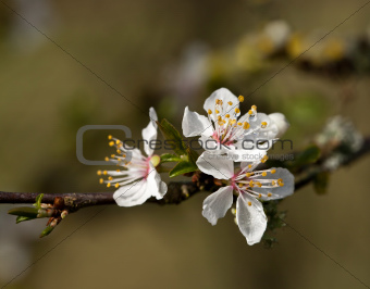 White Blossom with raindrops
