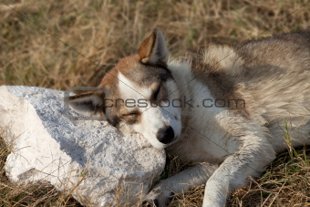 Homeless dog sleeps on stone for a pillow